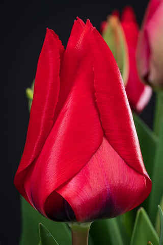 "Tulpenzwiebel ""Red Riding Hood"""