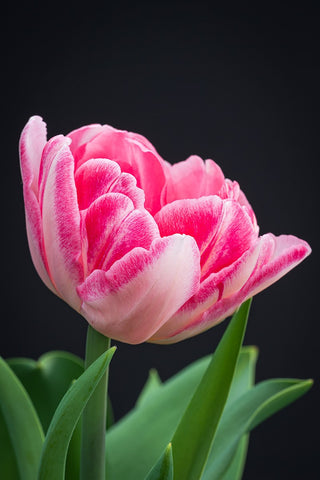 "Tulpenzwiebel ""Angelique"""