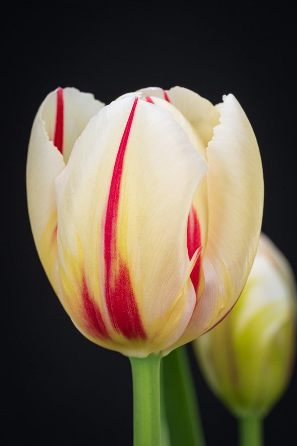 "Tulpenzwiebel ""Trumpet Red/White"""