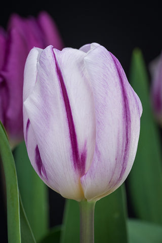 "Tulpenzwiebel ""Atlantic"""