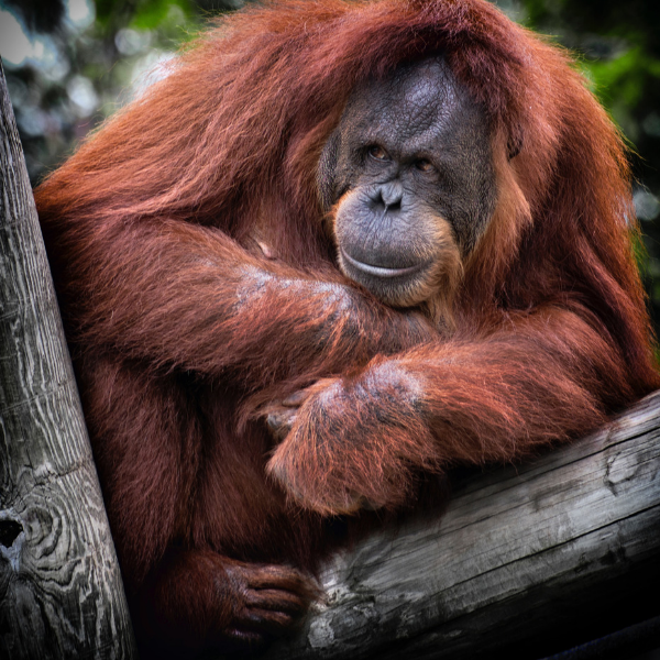 deforestation and orangutan extintion