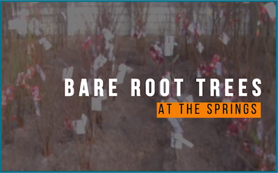 Bare Root Trees - What to do when you take them home.