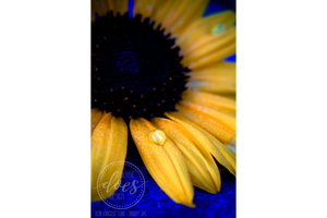 Bold Sunflower Drop - High Res Digital Photograph