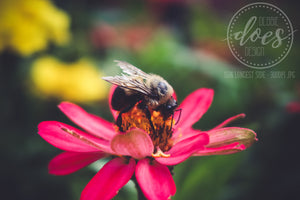 Bumble Bee on Wild Rose - High Res Digital Photograph