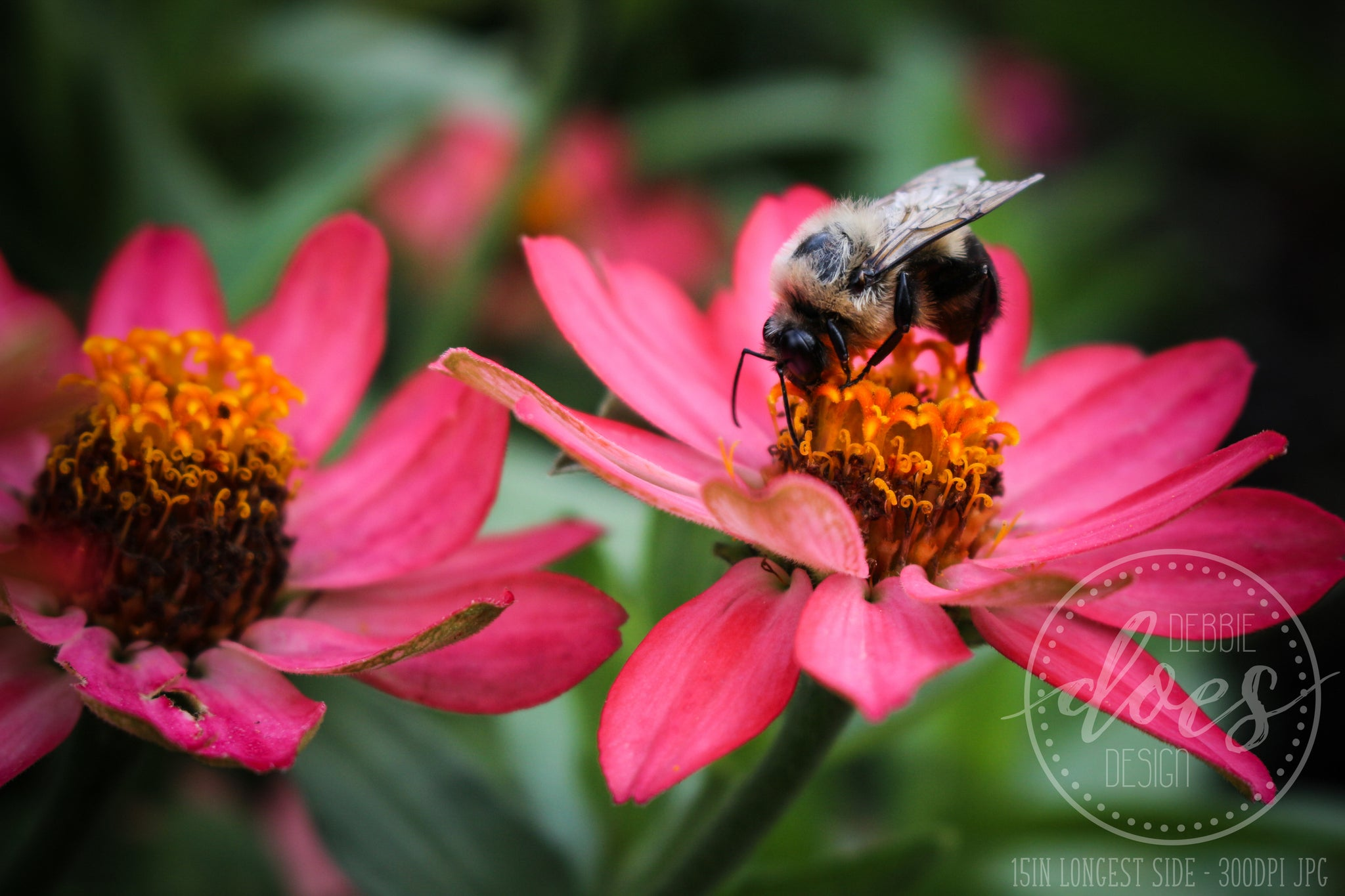 Busy Bumble Bee on Flower - High Res Digital Photograph