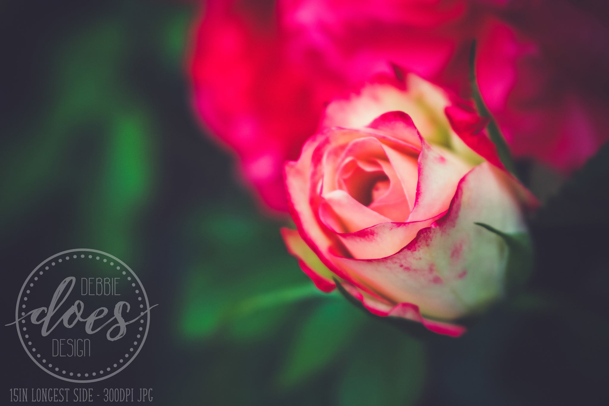 Romantic Rose - Flower - High Res Digital Photograph
