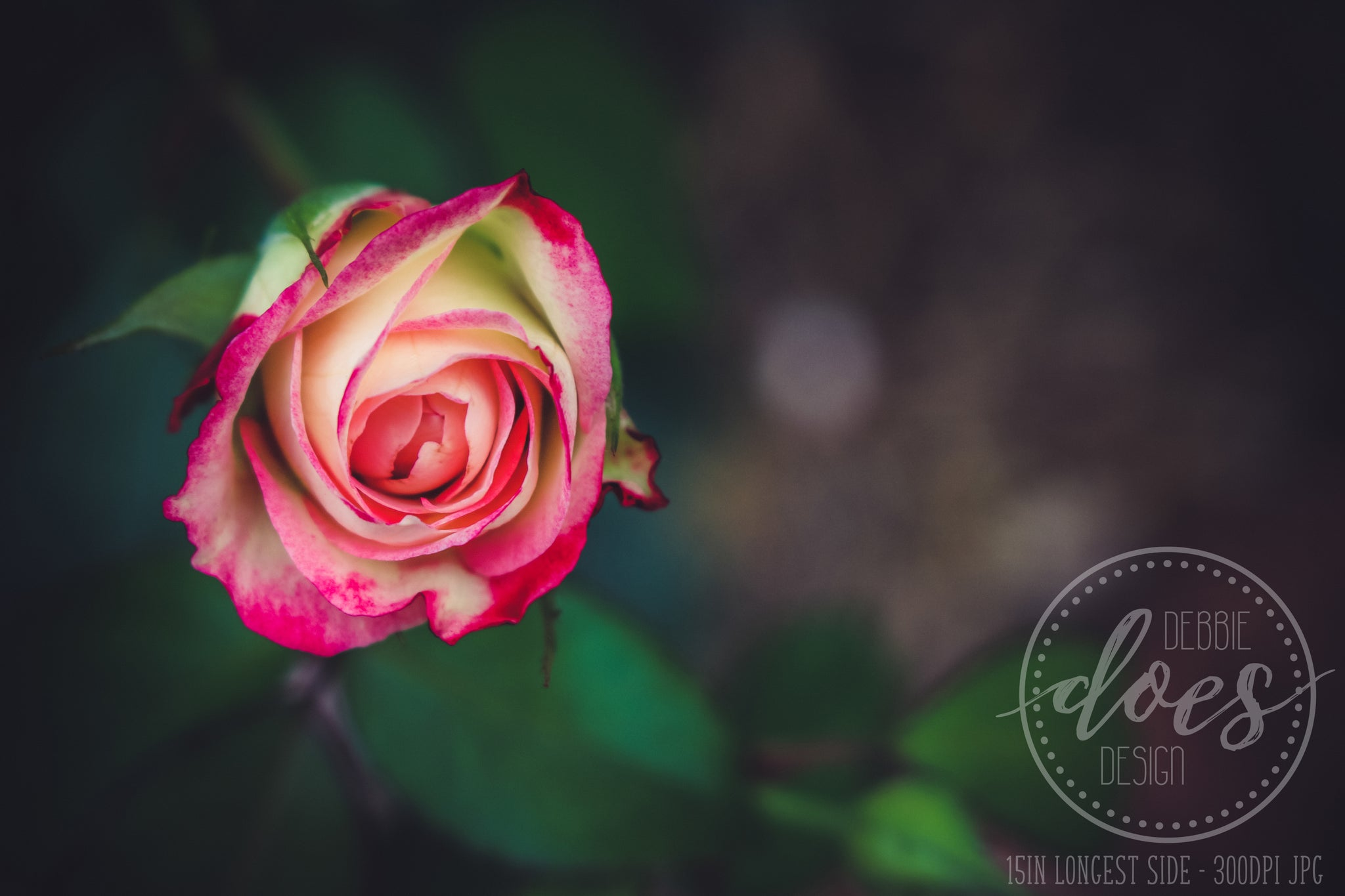 Rose Above - Flower - High Res Digital Photograph