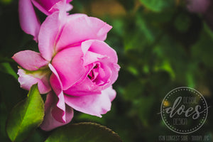 Soft Rose - Flower - High Res Digital Photograph
