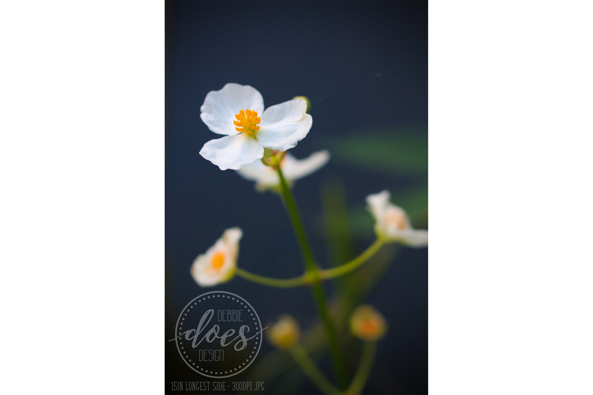 Water Blossom - Flower - High Res Digital Photograph