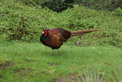 Black neck pheasant