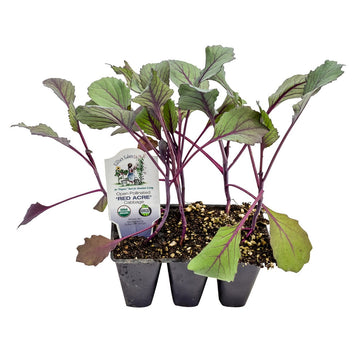 Organic Red Cabbage 5 Pack