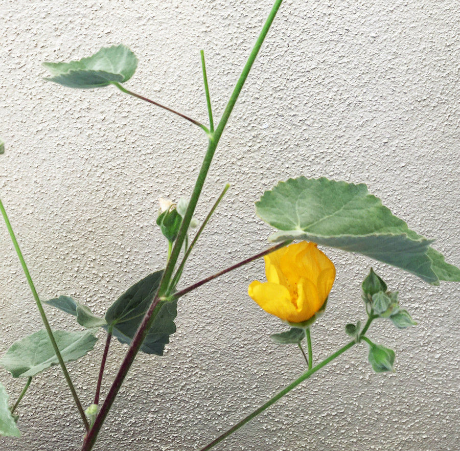 Abutilon palmeri (Indian Mallow)