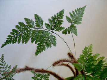 Davalia fejeensis (Rabbit Foot Fern)