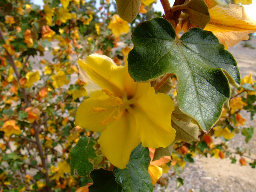 Fremontodendron 'Pacific Sunset' (flannel bush)