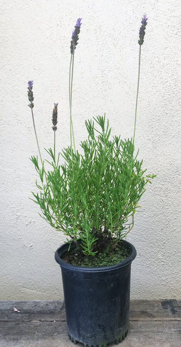 Lavandula dentata (French Lavender)