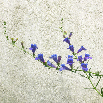 Penstemon h. 'Margarita Bop' (Blue Bedder)