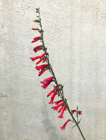 Penstemon eatonii (Eaton's Firecracker)