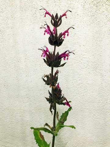 Salvia spathacea 'Powerline Pink' (Hummingbird Sage)