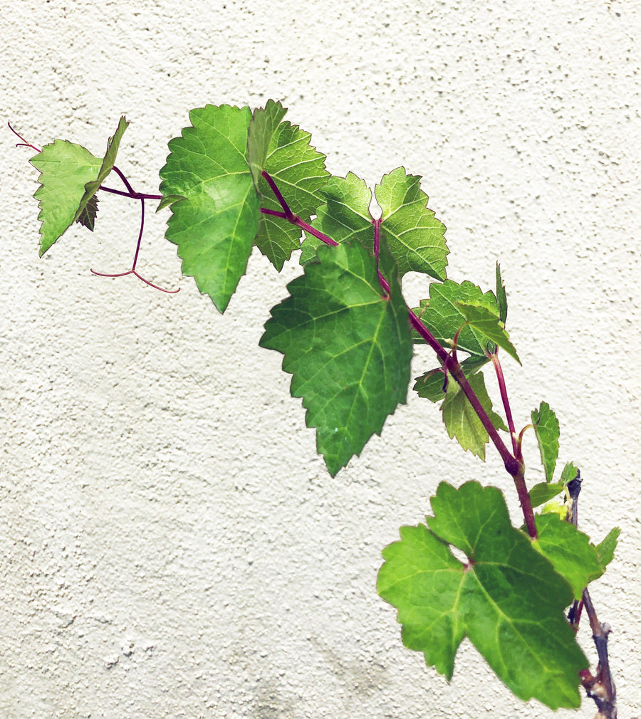 Vitis californica (California wild grape)