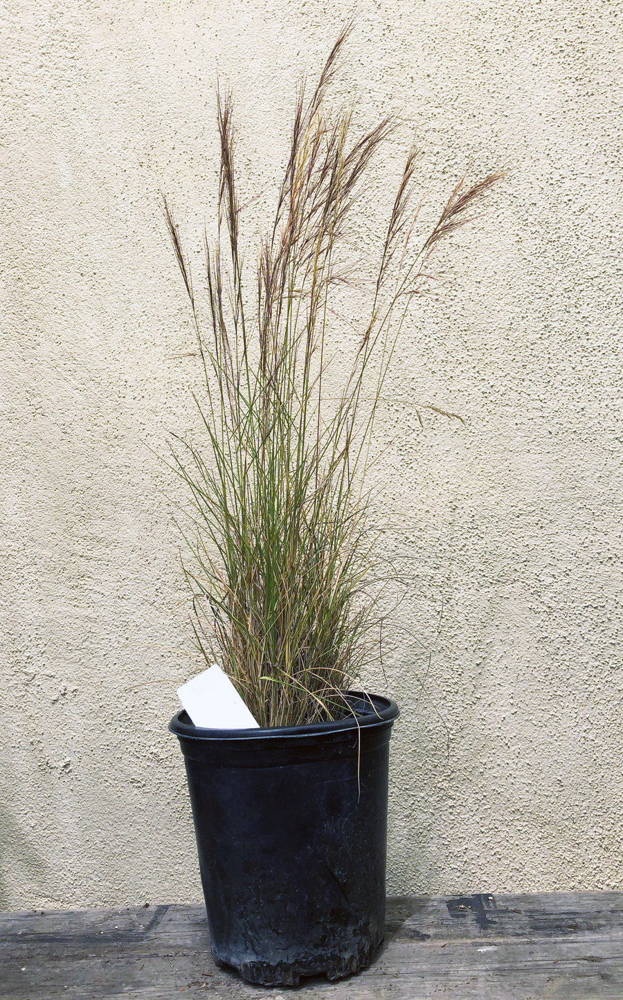 Aristida purpurea (Purple Three Awn)