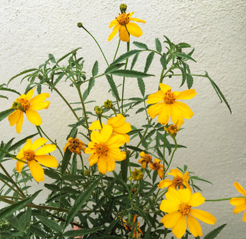 Tagetes lemmonii (Mexican Marigold)