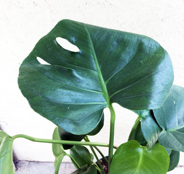 Monstera deliciosa (split leaf)