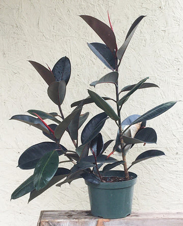 Ficus elastica decora (rubber fig)