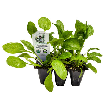 Organic Spinach 5 Pack