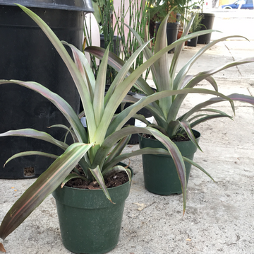 Ananas Pineapple Variegated