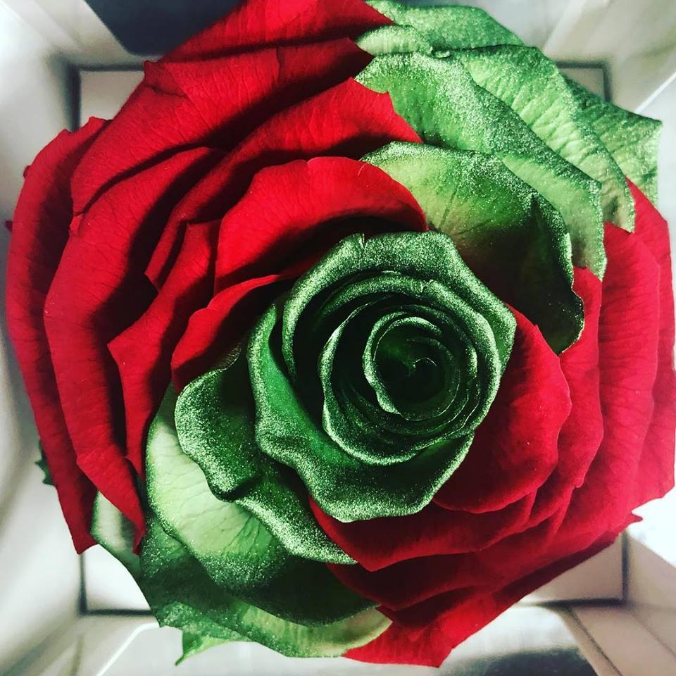 Jumbo rose: Bicolor Christmas Glimmer