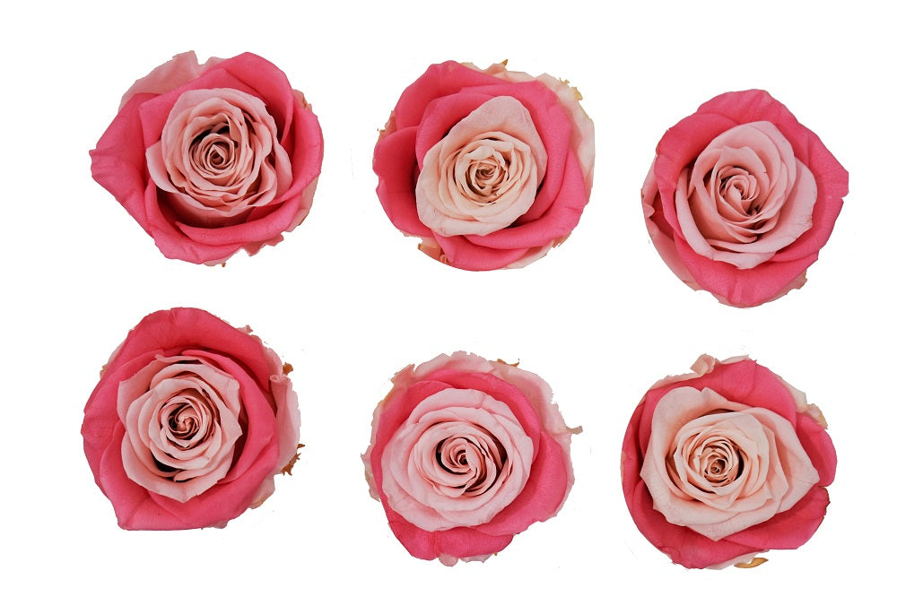 Large: Bicolor Pink  Preserved Rose *Box of 6 Preserved Rose Heads