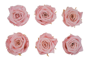 Medium: Blush Pink  Preserved Rose * Box of 6 Preserved Rose Heads