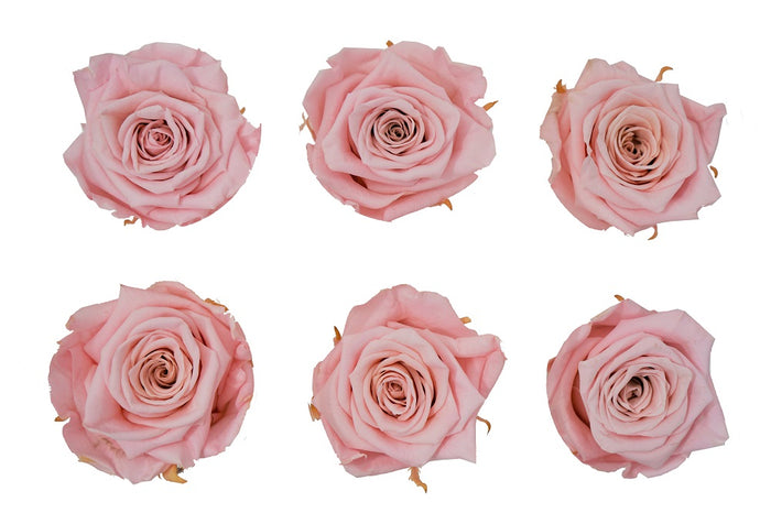 Large: Blush Pink  Preserved Rose  *Box of 6 Preserved Rose Heads