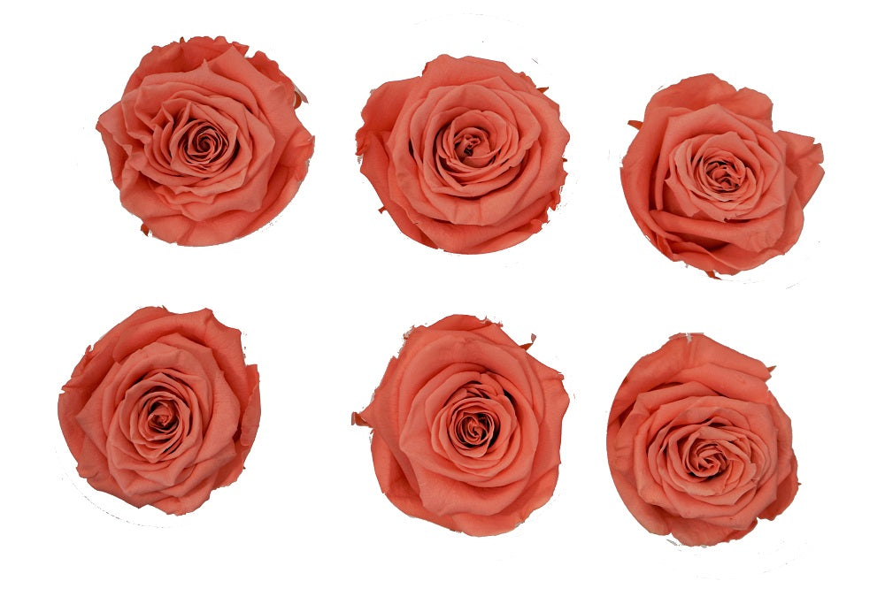 Medium: Coral  Preserved Rose * Box of 6 Preserved Rose Heads