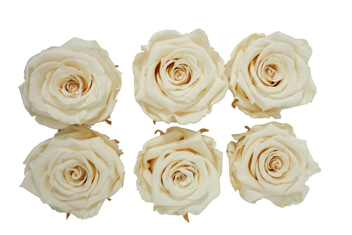 Medium: Cream  Preserved Rose * Box of 6 Preserved Rose Heads