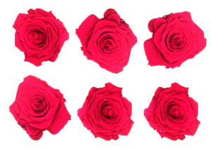 Medium: Cerise Preserved Rose * Box of 6 Preserved Rose Heads