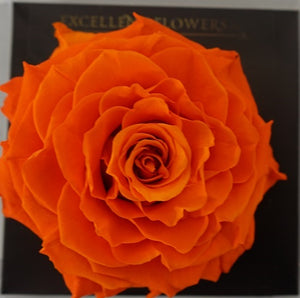 Jumbo rose: Bright Orange Jumbo
