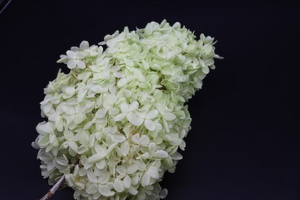 Hydrangeas: Light Green Preserved Hydrangea * Box of 10 Preserved Hydrangea Head