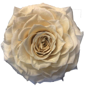 Jumbo rose: Cream Nude Jumbo Rose