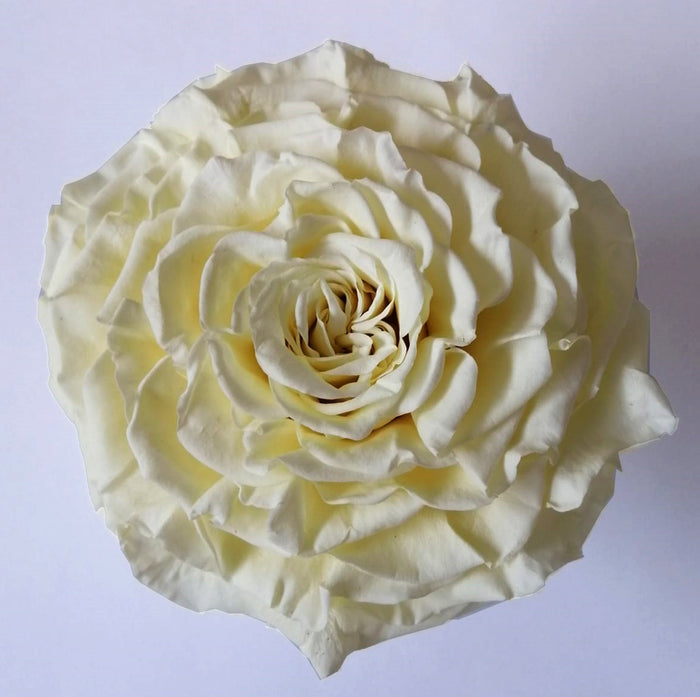 Jumbo rose: White Chocolate Rose Jumbo