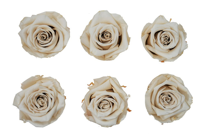 Large: Ivory  Preserved Rose   *Box of 6 Preserved Rose Heads
