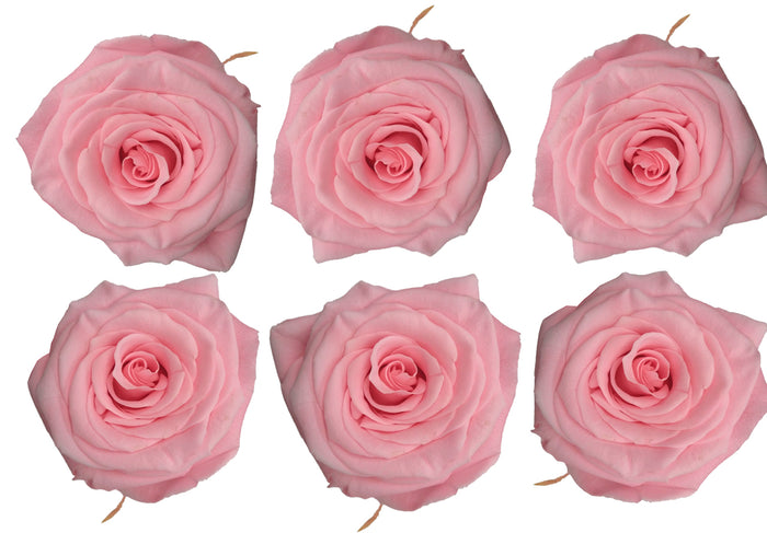 Medium: Light Pink Preserved Rose * Box of 6 Preserved Rose Heads