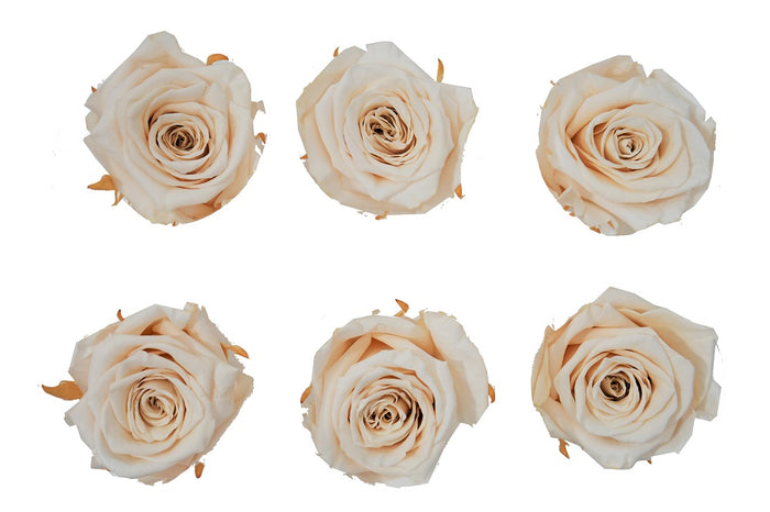 Large: Nude  Preserved Large Rose   *Box of 6 Preserved Rose Heads