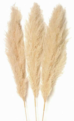 Pampas Grass (Pack of 20 Bunches) $18.00 Bunch