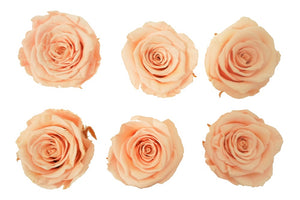 Large: Light Peach  Preserved Rose  *Box of 6 Preserved Rose Heads