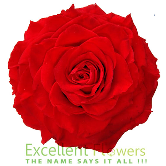 Jumbo rose: Bright Red Rose Jumbo