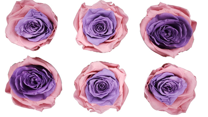 Medium: Bicolor Pink and Purple Preserved Rose * Box of 6 Preserved Rose Heads
