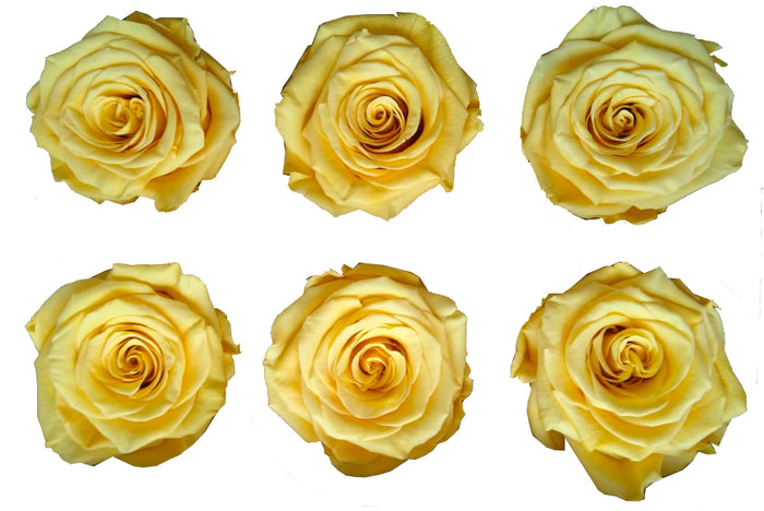 Large: Butterscotch  Preserved Rose * Box of 6 Preserved Rose Heads