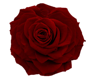Jumbo rose: Dark Red Rose Jumbo