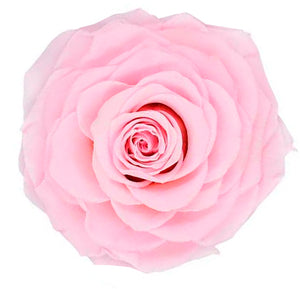Jumbo rose: Light Pink Jumbo